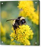 Lil Bee Acrylic Print