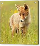 Lil' Hunter - Red Fox Cub Acrylic Print