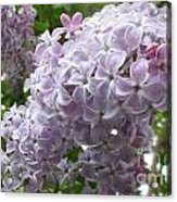 A Lighter Shade Of Lilac Acrylic Print