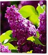 Lilac Bloom Acrylic Print