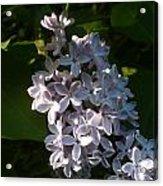 Lilac Branch Acrylic Print
