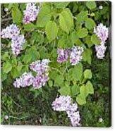 Lilac Bush Acrylic Print