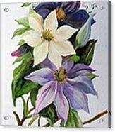 Lilac Clematis Acrylic Print