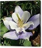 Lilac Columbine Acrylic Print