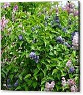 Lilac Heaven Acrylic Print
