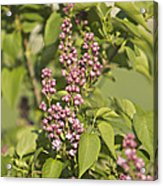 Lilac In Spring Acrylic Print