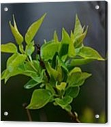 Lilac Leaves Acrylic Print