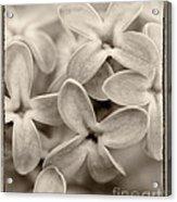 Lilac Macro Sepia Tone Acrylic Print