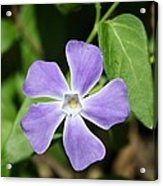 Lilac Periwinkle Acrylic Print