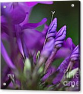 Lilac Petals And Purple Buds Acrylic Print