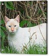 Lilac Point Siamese Cat Acrylic Print