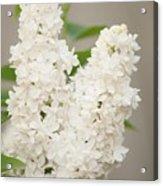 Lilac (syringa Vulgaris 'angel White') In Flower Acrylic Print