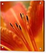 Lilies Heart Acrylic Print by Edward Loesch