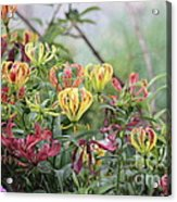 Lilies Of Color Acrylic Print