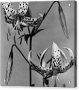 Lilium Bellingham Acrylic Print