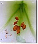 Lilium Formosa Acrylic Print