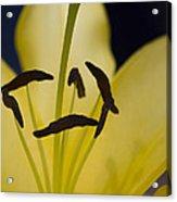 Lilium In Yellow Acrylic Print