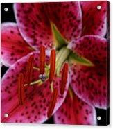 Lilium Pink Stargazer Acrylic Print