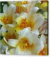 Lilium Regale Acrylic Print
