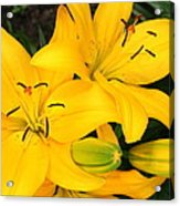 Lillies In Yellow Acrylic Print