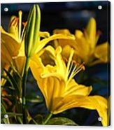 Lillies Of Gold Acrylic Print