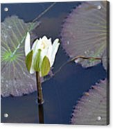 Lilly Blossom Acrylic Print by Julie Cameron