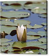 Lilly Pad With Bloom Acrylic Print