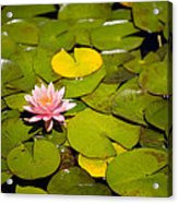 Lilly Pond Pink Acrylic Print by Peter Tellone
