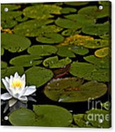 Lily And Pads Acrylic Print