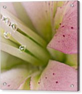 Lily And Raindrops Acrylic Print by Melanie Viola