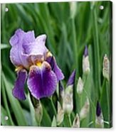 Lily And The Buds Acrylic Print