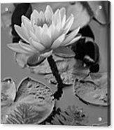 Lily Bw Acrylic Print