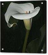 Lily Acrylic Print by Elery Oxford