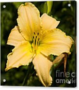 Lily For A Day Acrylic Print