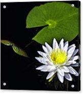 Lily From The Black Lagoon Acrylic Print