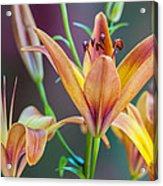 Lily From The Garden Acrylic Print