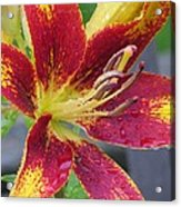 Lily In My Patio Acrylic Print