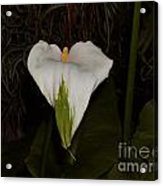 Lily In The Dark Acrylic Print