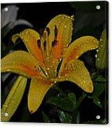 Lily In The Rain Acrylic Print