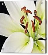 Lily In Winter Acrylic Print
