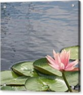 Lily Acrylic Print by Kevin Croitz