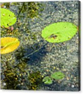 Lily Leafs On The Water Acrylic Print