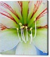 Lily -lilium Acrylic Print