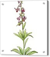 Lily (lilium Martagon) In Flower, Acrylic Print