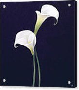 Lily Acrylic Print by Lincoln Seligman