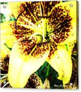 Lily Love Acrylic Print