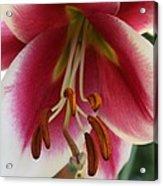 Lily Macro Acrylic Print