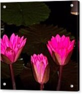 Lily Night Time Acrylic Print