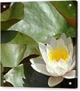 Lily Of Sydney Acrylic Print