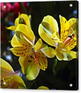 Lily Of The Incas Acrylic Print